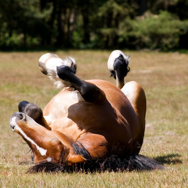 Colic in horses – causes, symptoms & prevention